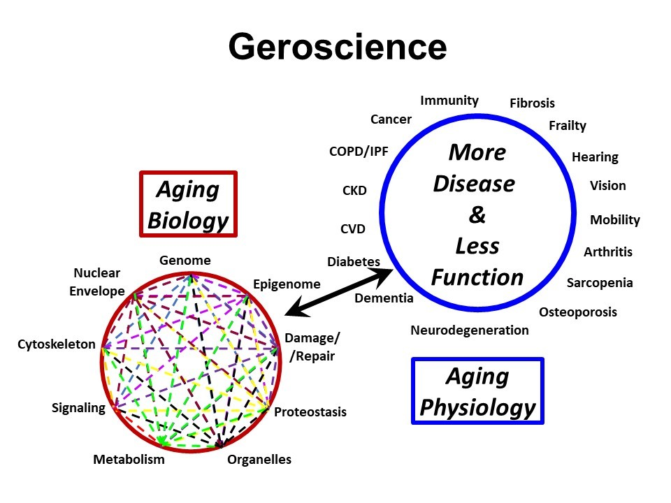 A diagram showing the relationship between the biological processes of aging and age-related diseases and conditions. Label: Geroscience. A circle with 'More disease and less function', surrounded by the words fibrosis, frailty, hearing, vision, mobility, arthritis, sarcopenia, osteoporosis, neurodegeneration, dementia, diabetes, CVD, CKD, COPD/IPF, cancer, and immunity. Below that circle is a box containing 'Aging physiology'. Another circle has a bidirectional arrow between it and the first circle; the second circle is surrounded by the words genome, epigenome, damage/repair, proteostasis, organelles, metabolism, signaling, cytoskeleton, nuclear envelope. Above that second circle is a box containing the words 'Aging biology'.