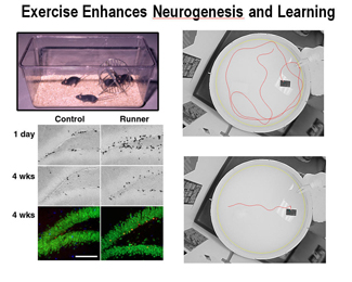 Exercise increases cell proliferation and neurogenesis in the adult mouse hippocampus (van Praag et al., Nature Neuroscience, 1999).