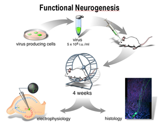 Retroviral labeling of neural progenitor cells allows for investigation of the function of newborn