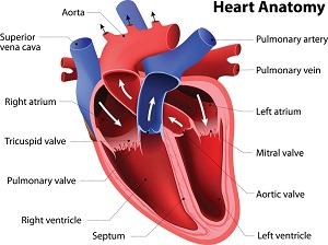 Anatomy of heart showing atria, ventricles, valves, vessels, and blood flow