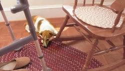 El perro descansa sobre la alfombra al lado del andador y la silla mecedora