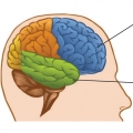 diagram of brain showing frontal and temporal lobes