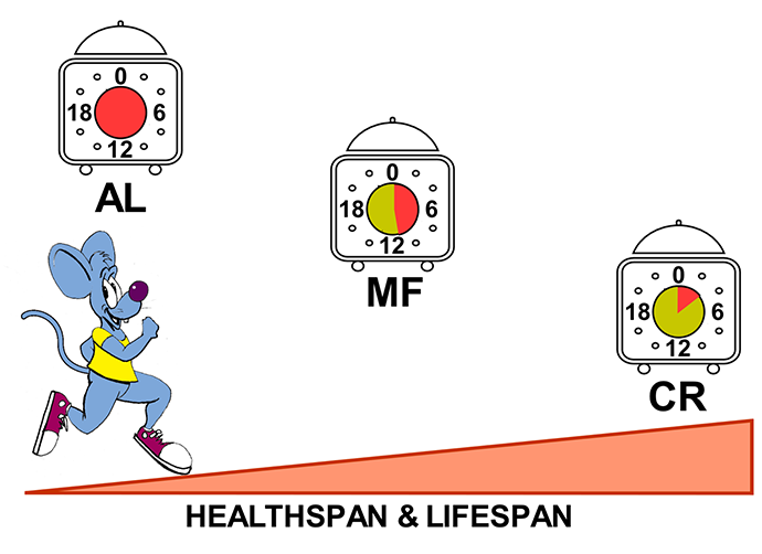 mouse jogging up an incline, with the caption 'Healthspan & lifespan', and three 24-hour clocks: 'AL' clock is all red; 'MF' clock is slightly more than half green, slightly less than half red; 'CR' clock is about 1/8 green.